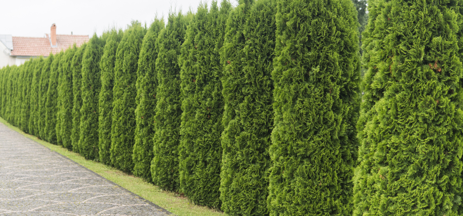 When is the best time to trim conifers?