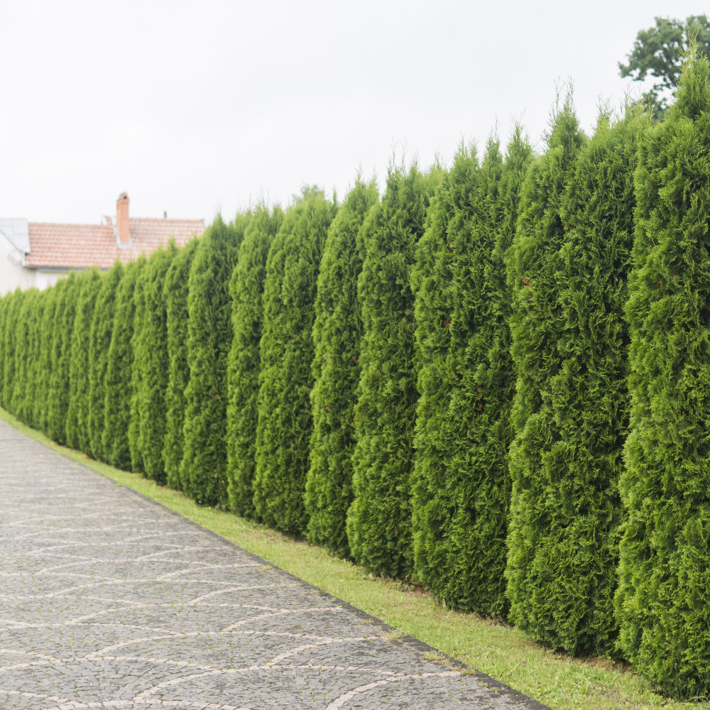 best time to trim conifers - blog by LJX Tree Surgeons